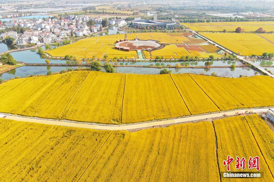 """南京郊外""""金色大地""""迎来丰收季"""