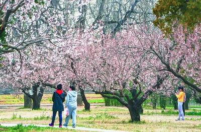 天坛公园大片杏花绽放枝头