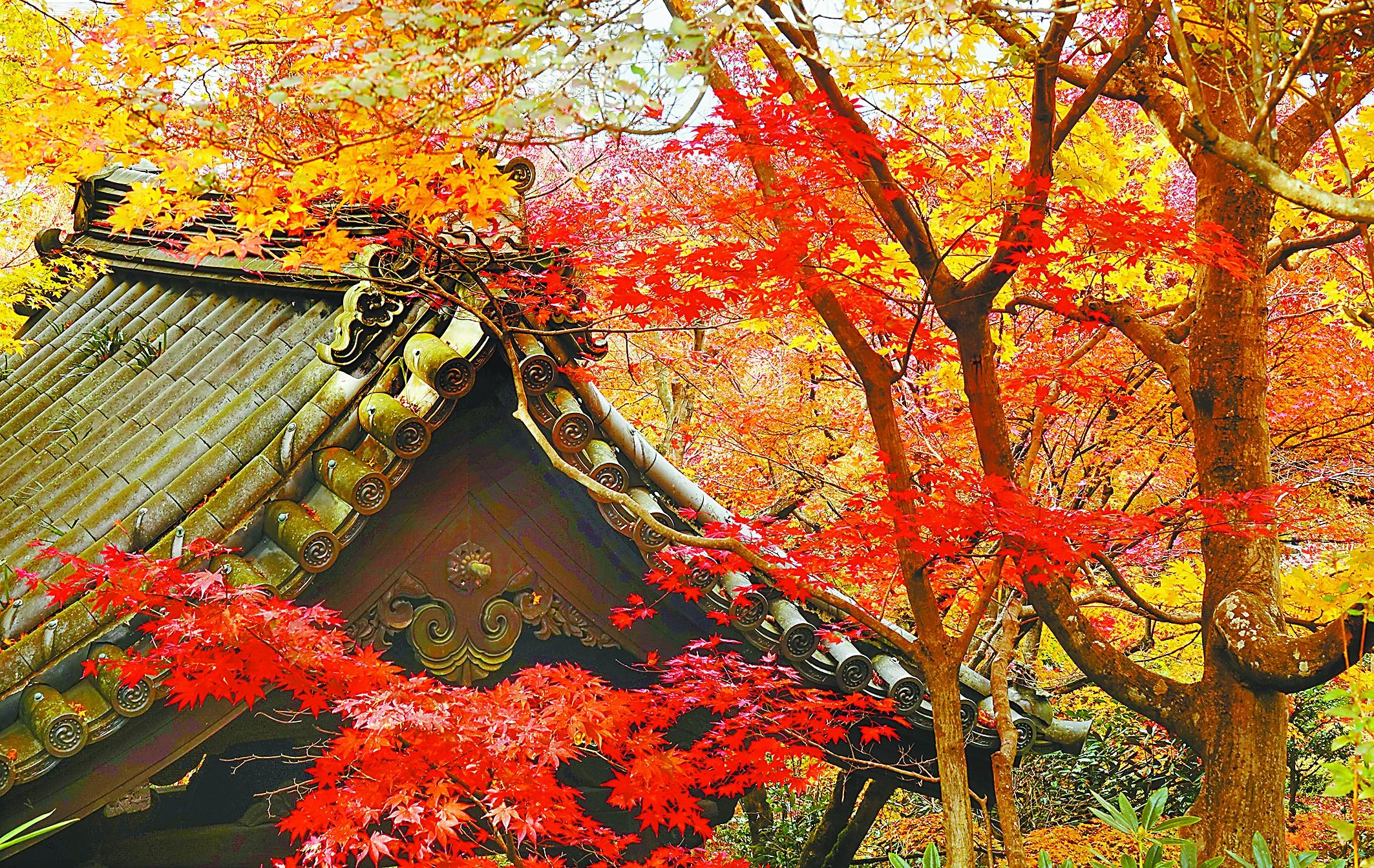 """京都体验""""红叶狩"""" 远眺古寺燃焰 近观碧池染红"""
