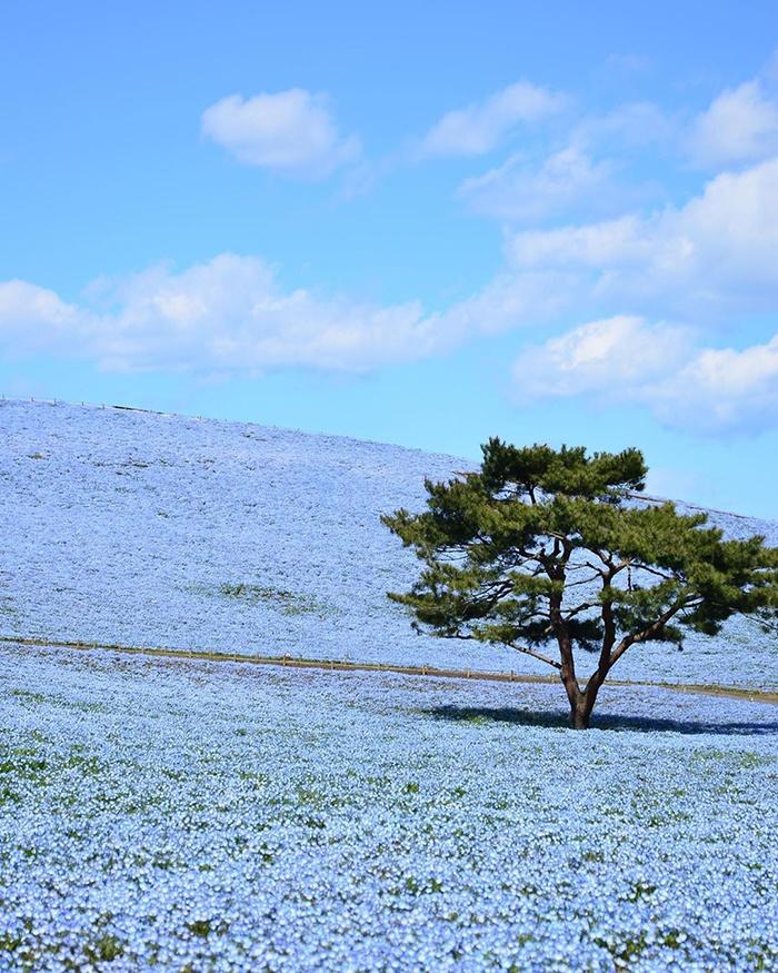 超过500万朵小蓝花齐绽放 美不胜收
