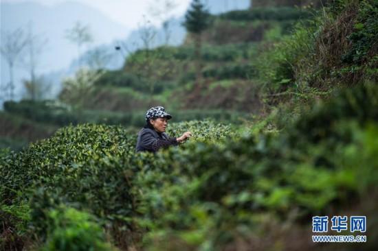 贵州春茶陆续开采