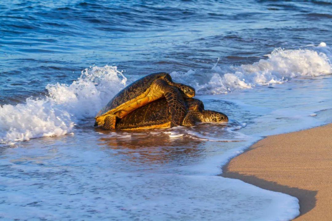 又是交配的季节,母海龟却找不到孩子他爸