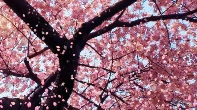 武汉光谷凯悦,让这个樱花季美的有点不像样
